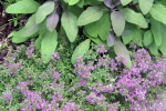 Tricolor sage and medicinal thyme