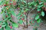 Serviceberry trees